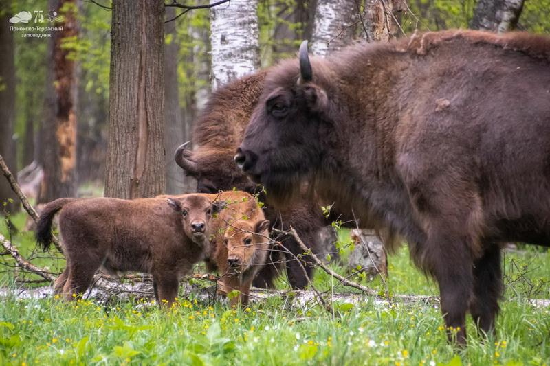 В Приокско-Террасном заповеднике можно встретить зубров
